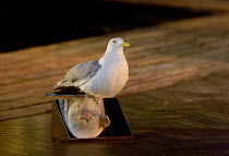 THE SEAGULL   by Chekhov   design: Jon Bausor   lighting: Philip Gladwell   director: Matthew Dunster seagull,stuffed,mirrorOpen Air Theatre (OAT) / Regent's Park, London NW1   24/06/2015...